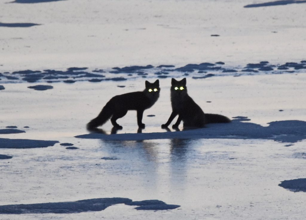 2 foxes on the ice