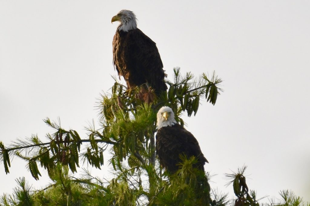two bald eagles sitting at the top of a tree
